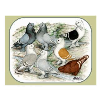 Classic Frill Barred Pigeons Postcard