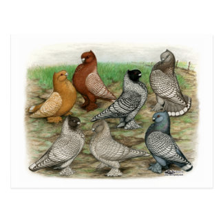 Classic Frill Pigeons Laced Blondinettes Postcard