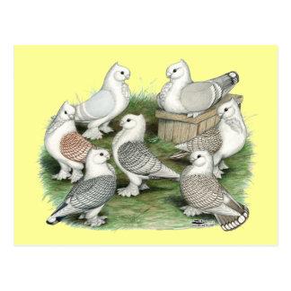 Classic Frill Pigeons Postcard