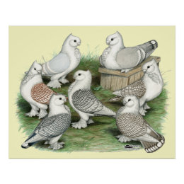 Classic Frill Pigeons Poster