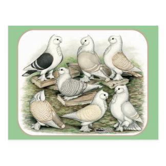 Classic Frill Pigeons Satinettes Postcard