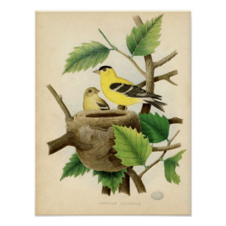 Classic Zoological Etching - American Goldfinch Print