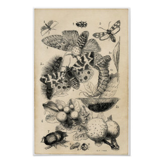 Classic Zoological Etching - Butterflies & Moths Poster