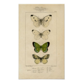 Classic Zoological Etching - Butterflies Print