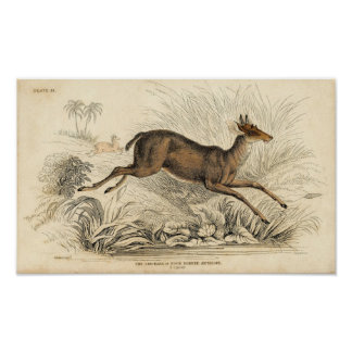 Classic Zoological Etching - Chickara Antelope Poster