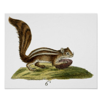 Classic Zoological Etching - Chipmunk Posters