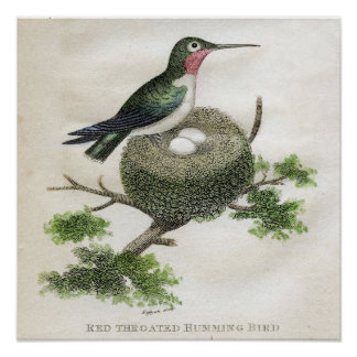 Classic Zoological Etching - Humming Bird Poster