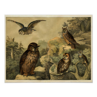 Classic Zoological Etching - Owls Poster