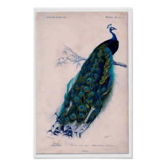 Classic Zoological Etching - Peacock Poster
