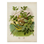 Classic Zoological Etching - Prairie Warbler Poster