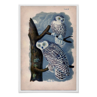 Classic Zoological Etching - Snowy Owls Poster