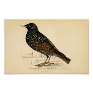 Classic Zoological Etching - Starling Poster