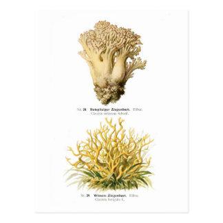 Clavaria rufescens & C.fastigiata Post Card