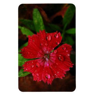 Clavel rojo con las gotas de agua iman