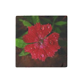Clavel rojo con las gotas de agua imán de piedra