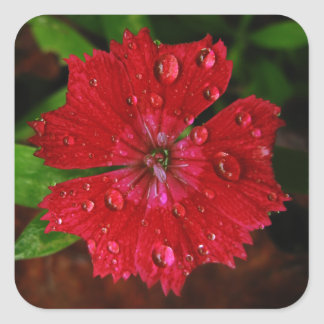Clavel rojo con las gotas de agua pegatina cuadrada