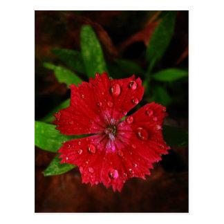 Clavel rojo con las gotas de agua postal