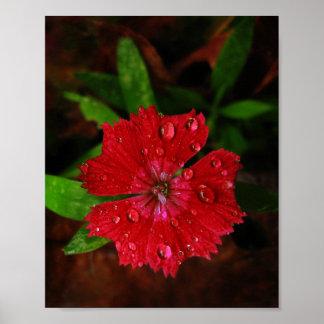 Clavel rojo con las gotas de agua póster