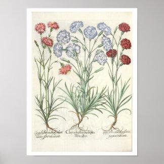 Claveles: albo múltiplex del flore 1.Caryophyllus; Posters
