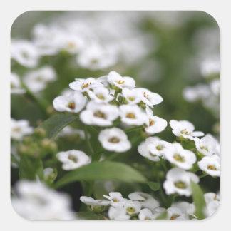 Clear Crystal White Alyssum Sticker