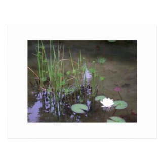Clear, Fresh Ponds, Small,Tiny,  Water Plants Postcard