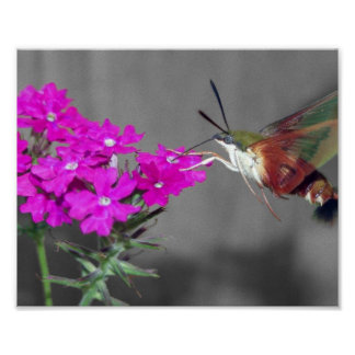 Clear Wing Humming Bird Moth Poster