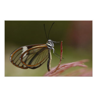 Clear-winged Butterfly Hyalurga sp ?) Cloud 2 Photo Print