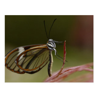 Clear-winged Butterfly Hyalurga sp ?) Cloud 2 Post Cards