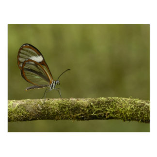 Clear-winged Butterfly Hyalurga sp ?) Cloud Post Cards