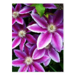 Clematis#1 Post Card