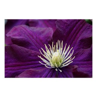 Clematis Amethyst Póster