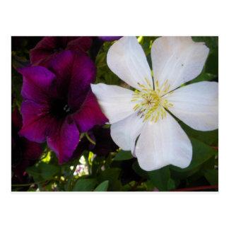 Clematis blanco y petunia púrpura postales