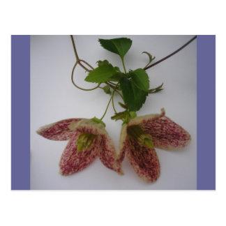 Clematis cirrhosa flower postcard