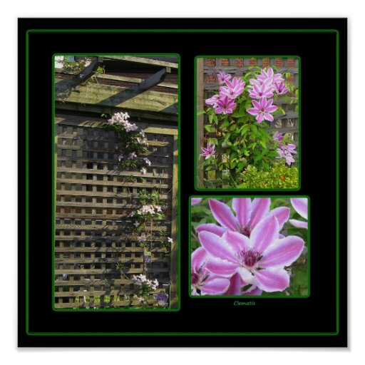 Clematis Collage Print