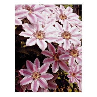 Clematis  flowers postcard