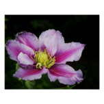 Clematis Flowers Posters