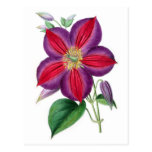 Clematis Magnifica Post Card