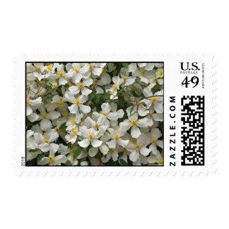 Clematis Montana Postage