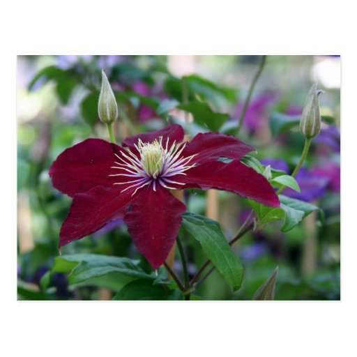 Clematis Post Cards