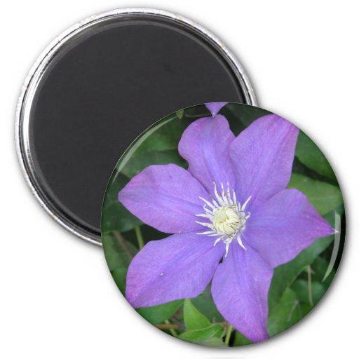 Clematis púrpura imán redondo 5 cm