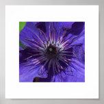 Clematis púrpura impresiones