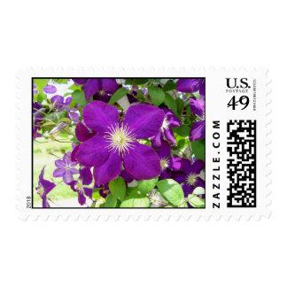 Clematis púrpura franqueo