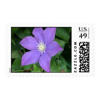 Clematis púrpura sellos