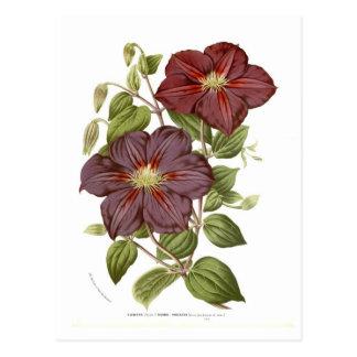 Clematis rubro - violacea postcard