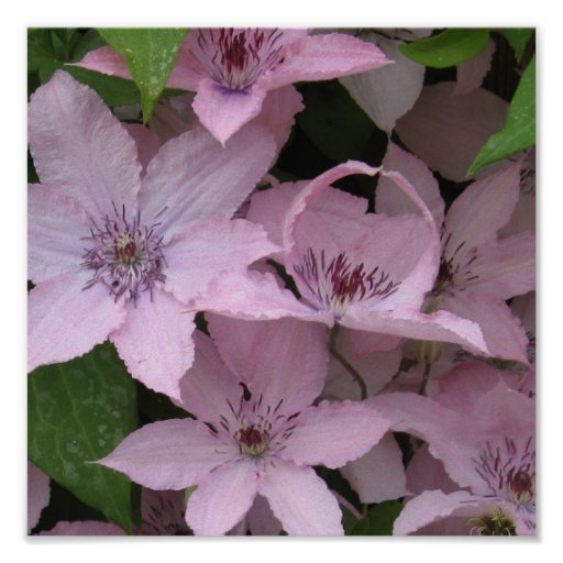 Clematis Unfurled Poster