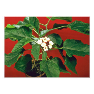 Clerodendron Philippinum (Glory Bower) Pink flower Invitations