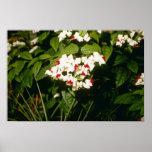 Clerodendron Thompsonae Variegatum (gloria B Impresiones