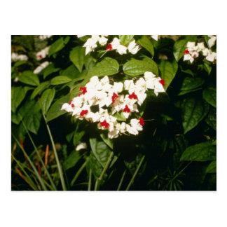 Clerodendron Thompsonae Variegatum gloria B Tarjeta Postal