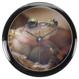 Cliff Chirping Frog, Eleutherodactylus Aqua Clock