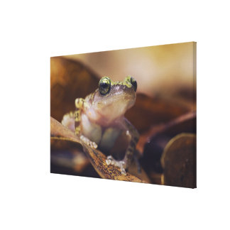 Cliff Chirping Frog, Eleutherodactylus Canvas Print